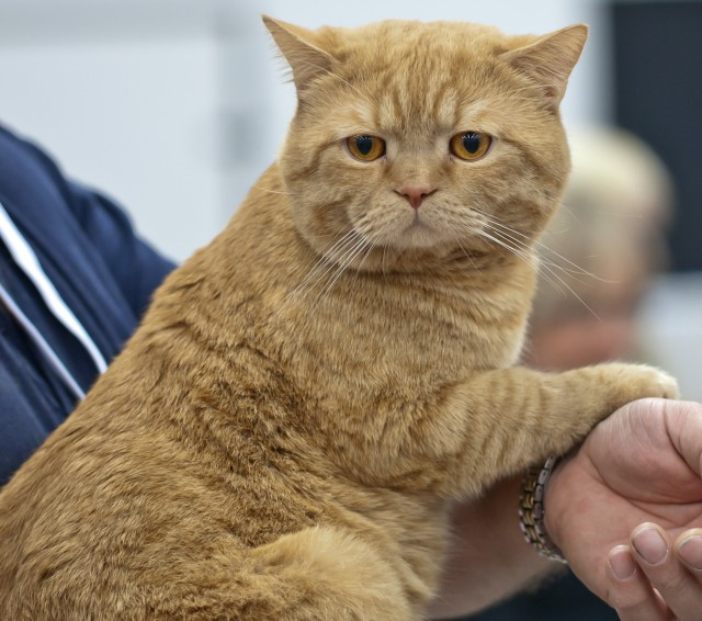British Shorthair Ginger