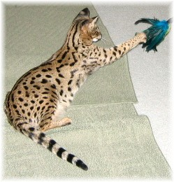 F1_Savannah_cat_playing