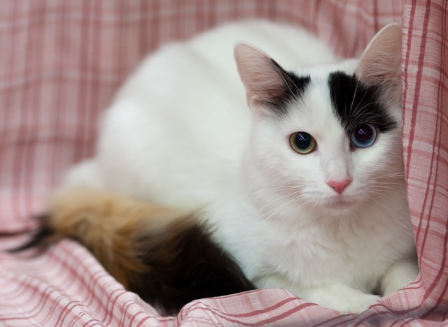 Turkish van breeders victoria