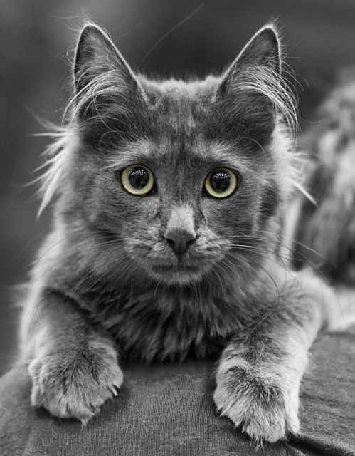 Turkish Angora Cat Breed Profile Metaphorical Platypus