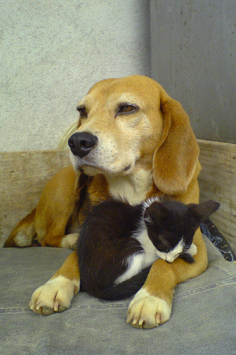 beagle and kitten