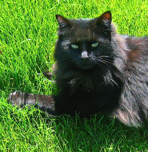 black longhaired cat