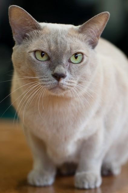 Burmese cat how much