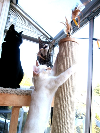 Cats Playing on Cat Power Tower