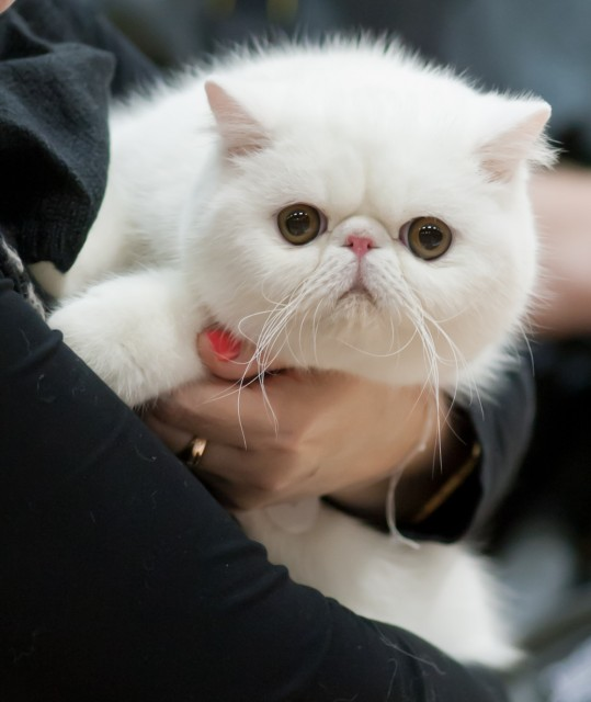 exotic shorthair cat2