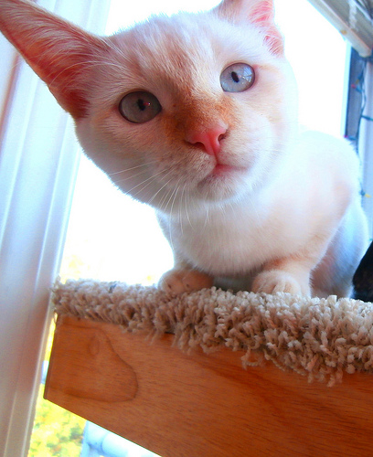 flame point siamese kitten