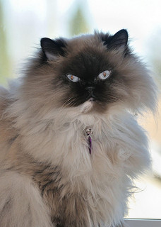 Himalayan Cat Breed Profile Metaphorical Platypus