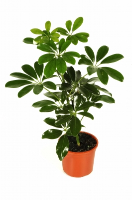 How to fix brown tips on house plants metaphorical platypus - Most popular house plants ...