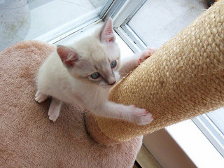 kitten with scratchpost
