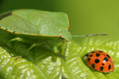 ladybug and green bug