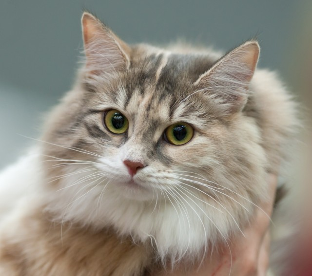 siberian cats wallpaper