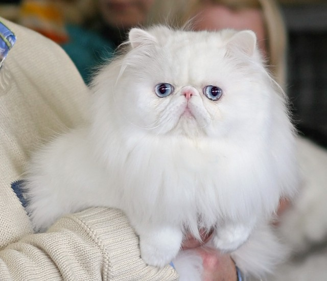 Angora cat blue eyes