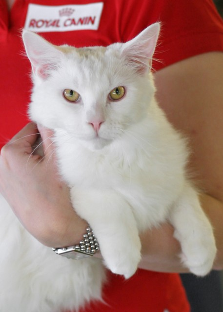white cat with golden eyes