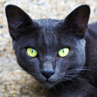 Gray Korat Cat