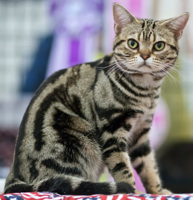 american shorthair cat