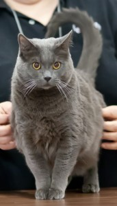 chartreux cat