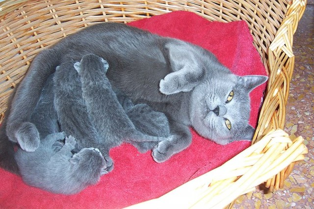 gray cat with kittens