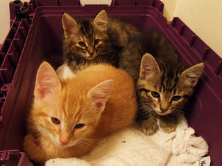 kittens with fleas