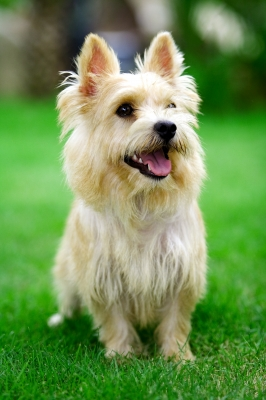 norwich terrier dog