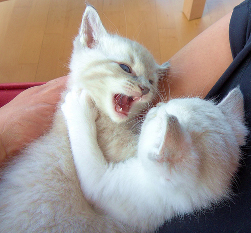 white kittens fighting