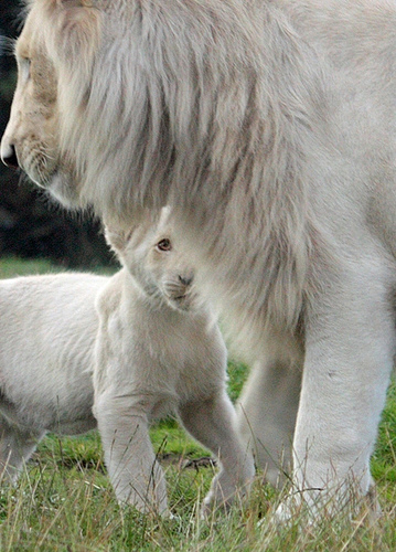 white lion with cub